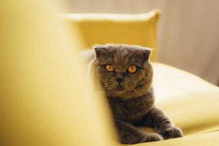 fluffy scottish fold cat on yellow sofa at home