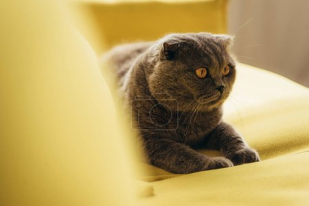 grey furry scottish fold cat on yellow sofa at home