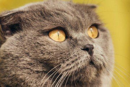 close up of grey scottish fold cat