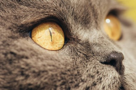 close up of grey scottish fold cat with yellow eyes