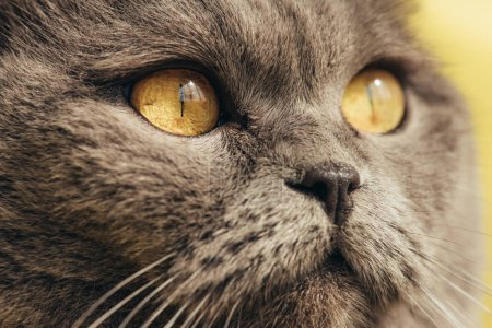 close up of furry scottish fold cat with yellow eyes