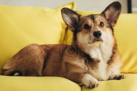 cute furry pembroke welsh corgi dog sitting on yellow sofa