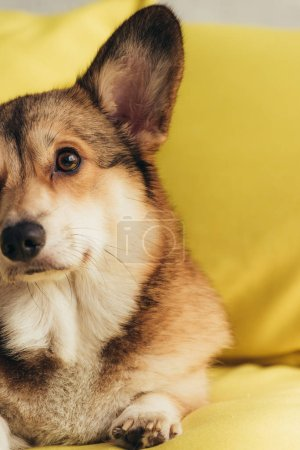 cute furry welsh corgi dog sitting on yellow sofa