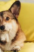 cute furry welsh corgi dog sitting on yellow sofa