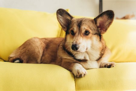 cute welsh corgi dog lying on yellow sofa