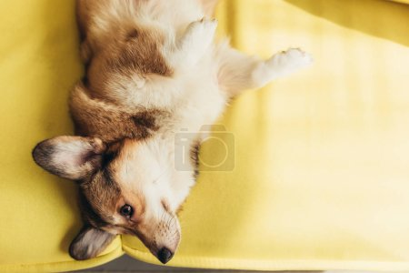 friendly pembroke welsh corgi dog lying on sofa