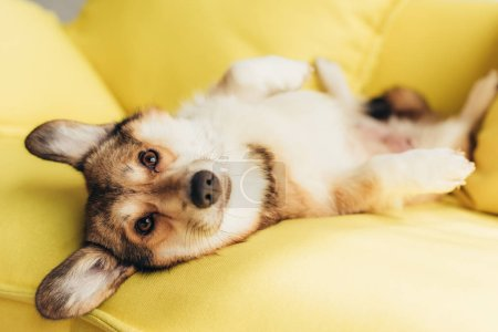 friendly welsh corgi dog lying on yellow sofa