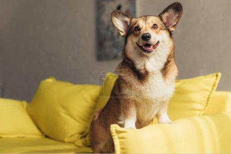 furry welsh corgi dog sitting on yellow sofa