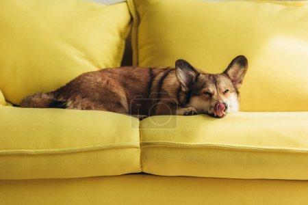 funny welsh corgi dog licking nose on yellow sofa