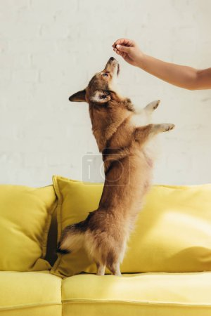 Photo for Cropped view of of person training welsh corgi dog on sofa - Royalty Free Image