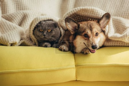 Cat and dog lying together under blanket on sofa...