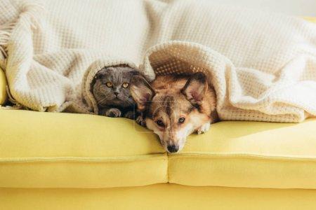 scottish fold cat and welsh corgi dog lying under blanket together on sofa