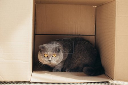 furry scottish fold cat in cardboard box