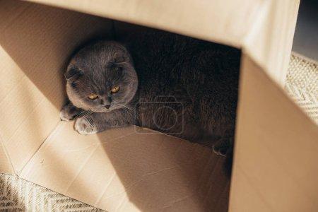 Foto de Gato fold escocés gris lindo en caja de cartón en casa - Imagen libre de derechos