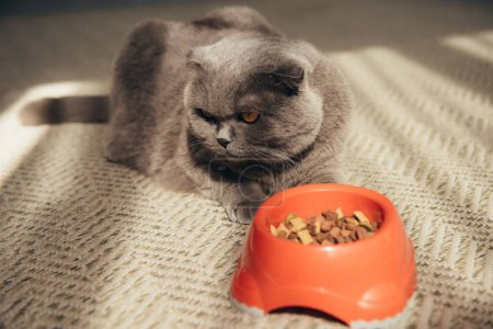 scottish fold cat with cat food in red bowl