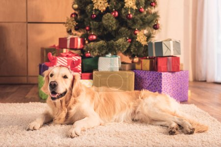 retriever dog in deer horns lying near christmas tree with gifts