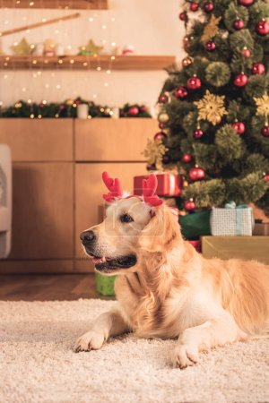 funny golden retriever dog in deer horns lying near christmas tree with presents