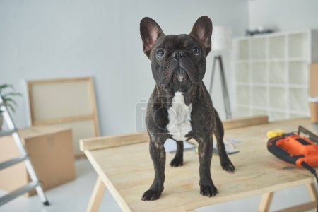 Photo for Adorable black french bulldog standing on wooden table in new home - Royalty Free Image