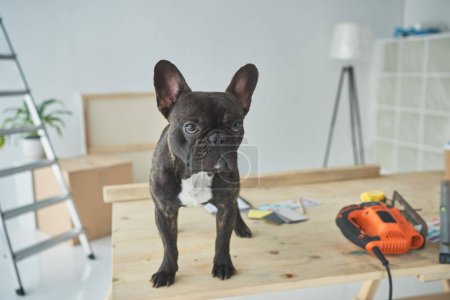 adorable french bulldog standing in wooden table with tools
