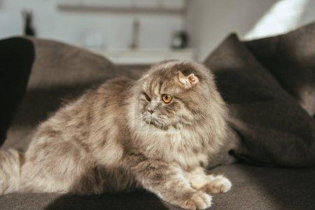 selective focus of adorable grey british longhair cat on sofa