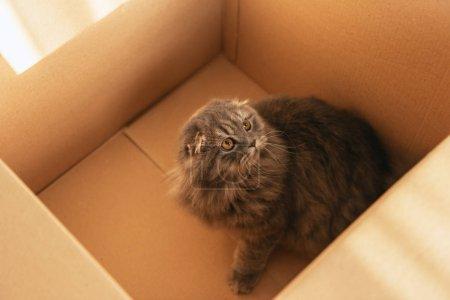 Photo pour Vue d'angle élevé d'adorable chat poil long britannique dans une boîte en carton - image libre de droit
