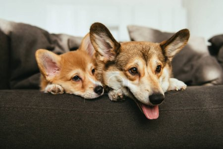 close up view of welsh corgi dogs laying on sofa at home