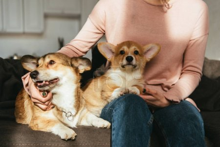 cropped image of woman sitting on sofa with welsh corgi dogs at home