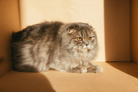 cute british longhair cat in cardboard box with sunlight