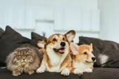 """Постер, картина, фотообои """"Вельш корги собак и Британская длинношерстная кошка на диване у себя дома"""""""