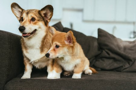 welsh corgi dogs on sofa in living room at home