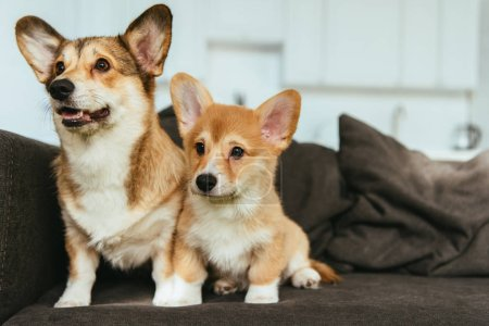 welsh corgi dogs on couch in living room at home
