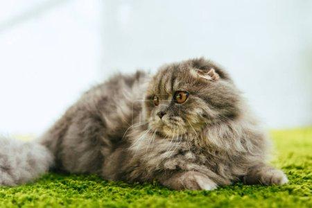 Photo pour Vue rapprochée de chat à poil long britannique adorable posé sur le sol - image libre de droit