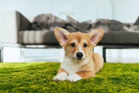 adorable welsh corgi pembroke sitting on green lawn in living room at home