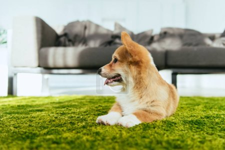 welsh corgi pembroke sitting on green lawn in living room at home