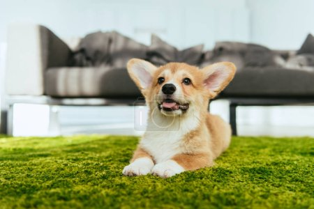 selective focus of welsh corgi pembroke sitting on green lawn in living room at home