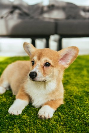 cute welsh corgi pembroke sitting on green lawn in living room at home