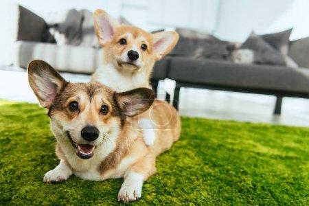 Photo pour Vue rapprochée de deux chiens gallois mignons corgi étendu sur la pelouse verte à la maison - image libre de droit