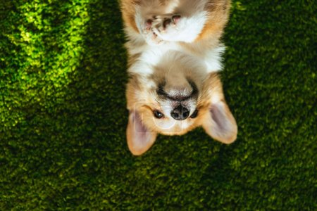elevated view of adorable welsh corgi pembroke on green lawn at home