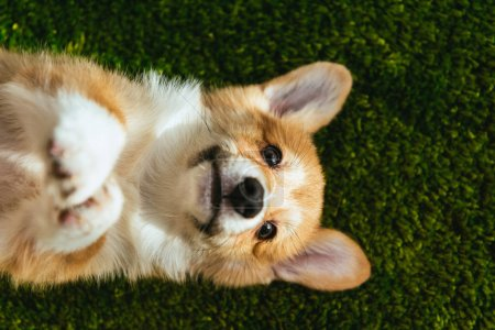 top view of welsh corgi pembroke on green lawn at home