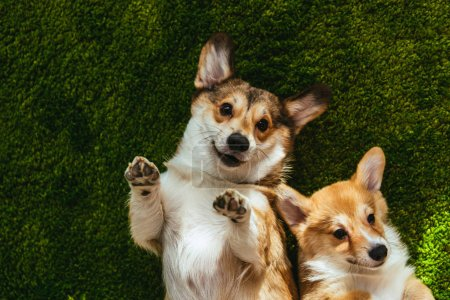 adorable welsh corgi dogs laying on green lawn