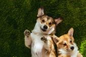 """Постер, картина, фотообои """"очаровательны Вельш корги собак, лежа на зелёной лужайке"""""""