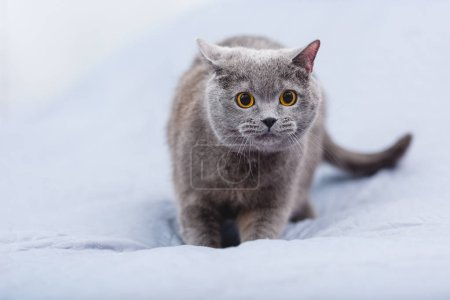 close-up view of beautiful british shorthair cat on bed