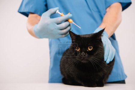 cropped view of veterinarian holding black cat and making microchipping procedure isolated on grey