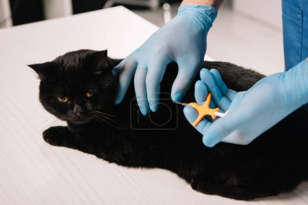 cropped view of veterinarian microchipping  black cat on table