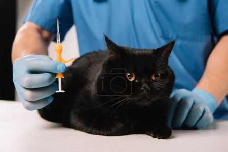selective focus of syringe in hand of veterinarian near black cat before microchipping procedure