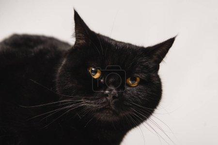 Photo pour Gros plan du chat noir pelucheux isolé sur gris - image libre de droit