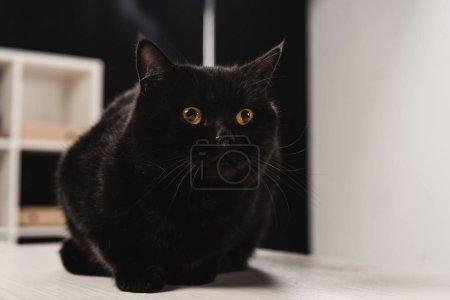 Photo pour Chat noir moelleux assis sur la table - image libre de droit