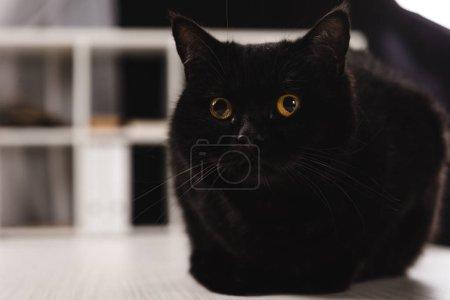 Photo pour Chat noir poilu assis sur la table - image libre de droit