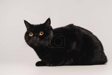 Photo pour Chat noir moelleux assis sur la table isolé sur gris - image libre de droit