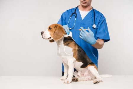 Photo for Partial view of veterinarian holding syringe for microchipping beagle dog on grey background - Royalty Free Image
